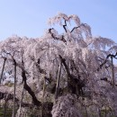 4月三春の滝桜(福島) 小川一幸さん
