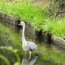 清水公園で青鷺? Takeruさん