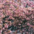 我が家の中から花見出来る八重桜 木村俊子さん