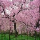 京都桜 (2) 堀田敏和さん