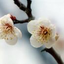 2月梅 小川一幸さん