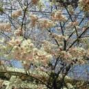 2012年4月5日県庁の桜  Dr.Y