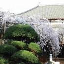 2012年4月5日浦和玉蔵院のしだれ桜  Dr.Y