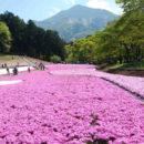 羊山公園芝桜の丘 白石正子さん