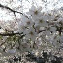 29年4月4日桜石塚政幸さん