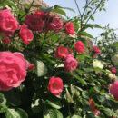高宮勝美さん 高輪 薔薇74