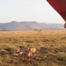 ケニアにてライオンたち 山下寛さん