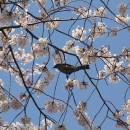 桜を啄ばむ  Dr.Y