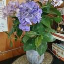 待合室の花 アジサイ 長谷部萩枝さん