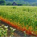 蕎麦の花 茎が綺麗でした。黒須正子さん