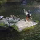 亀の横でカルガモの親子が。。。Takeru.Yさん