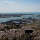 石巻市日和山からの眺望  -桜と旧北上川河口- 橋 本 陞さん