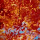 11月紅葉、京都 小川一幸さん