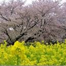 昭和記念公園の春!  黒須正子さん