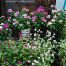 私の花たち001 伊東よ志みさん